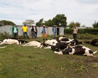 Emurua-Dikirr MP Counting Loses After Cows Worth Sh2.5 million Die