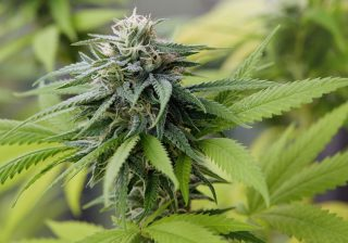 You Can Now Study Medicinal Bhang at the University