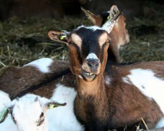 Suspected thieves hacked to death for attempting to steal goats